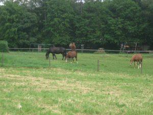 Friedlich grasen die Pferde auf der Weide, wenn sie ungestört sind. Es sei denn, es kommt ein kleiner Hund ...
